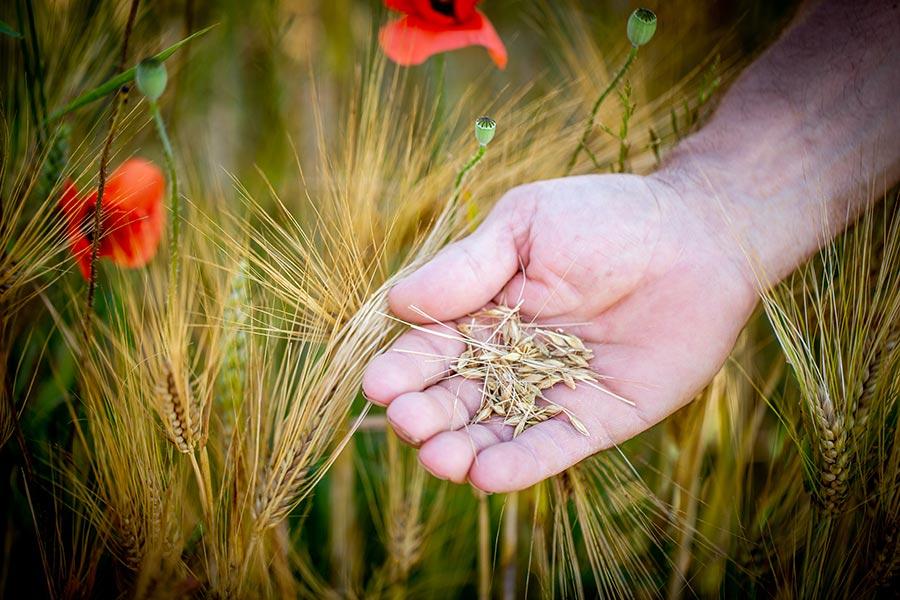 Begutachtung von Getreide