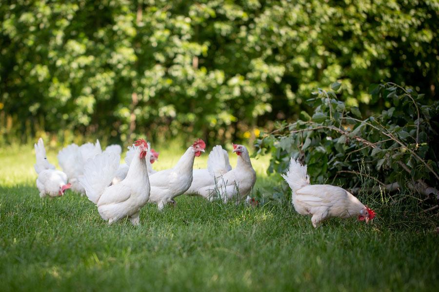 Hühner aus Freilandhaltung