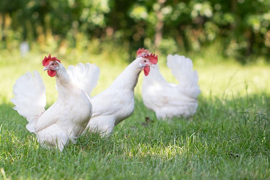 Hühner aus Bayern